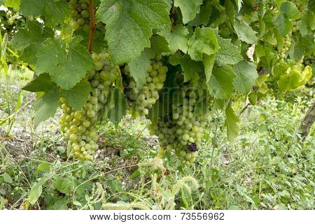 Green grape on the branch.