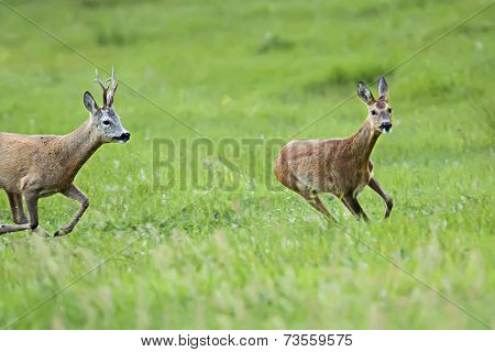 Buck deer with roe-deer on the run, in a clearing