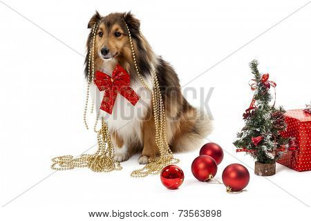 Elegant shetland sheepdog with christmas ornaments