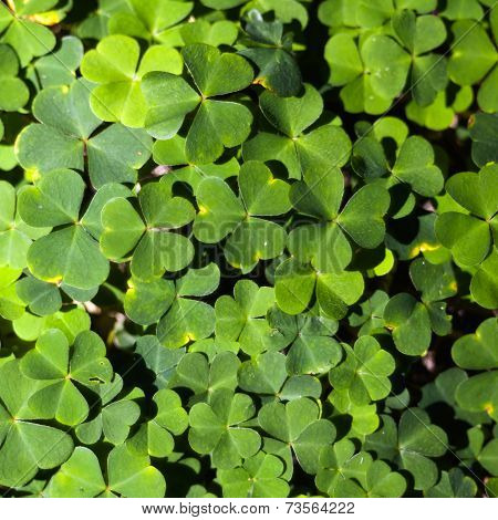 Wood Sorrel Or Common Wood Sorrel