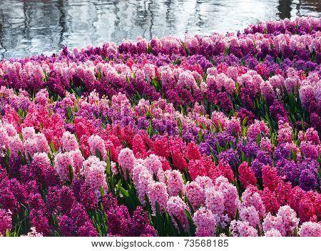 Spring Varicolored Hyacinths (closeup)