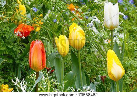 Beautiful Varicolored Tulips. Nature Background.