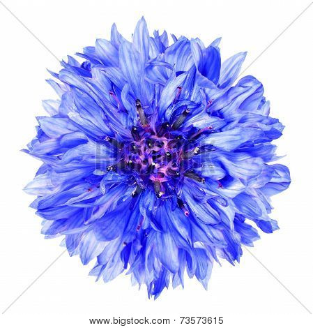Blue Cornflower Flower Isolated On White Background