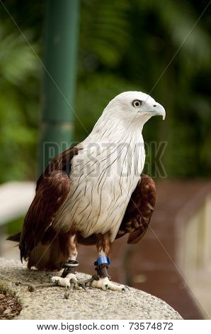 Red-backed Sea Eagle