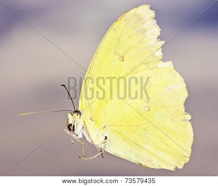 A Close Up Sulfur Butterfly, Family Pieridae