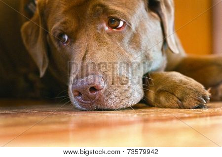 Sad Sight Of Brown Labrador Retriever