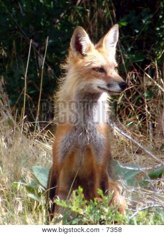 Foxy B