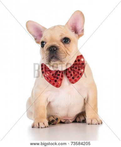 french bulldog wearing red bowtie looking on white background