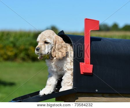 puppy in a mailbox - american cocker spaniel puppy - 8 weeks old