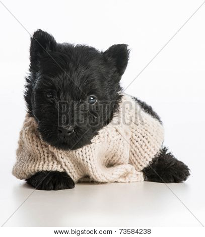 cute puppy wearing knitted sweater laying down on white background - scottish terrier