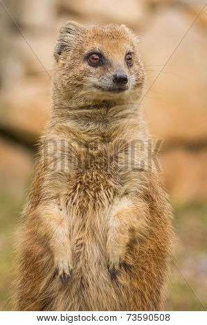 Mongoose standing and staring.