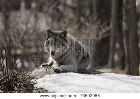 Wolf in a wintery landscape