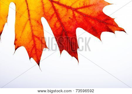 Autumn Oak Leaf Macro