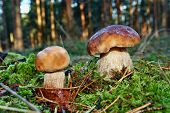 picture of boletus edulis  - Two mushroom boletus edulis in the forest