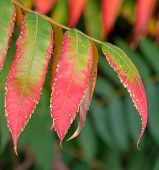 foto of mountain-ash  - ripe mountain ash leaves  in the autumn time - JPG