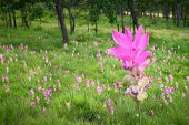 stock photo of curcuma  - The Curcuma alismatifolia field in national park - JPG