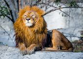 pic of african lion  - large lion lying on a stone in the park - JPG