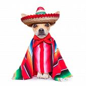 image of samba  - fun mariachi mexican chihuahua dog wearing a sombrero hat and red poncho isolated on white background - JPG