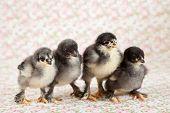pic of brahma  - Four cute little brahma chickens in a row - JPG