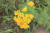 image of tansy  - Flowering tansy in the Krasnoyarsk Territory - JPG