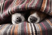stock photo of sleeping  - couple of dogs in love sleeping together under the blanket in bed - JPG