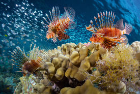 foto of school fish  - School of lion fish swimming over coral reef and watching their prey  - JPG