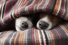 stock photo of temperature  - couple of dogs in love sleeping together under the blanket in bed - JPG