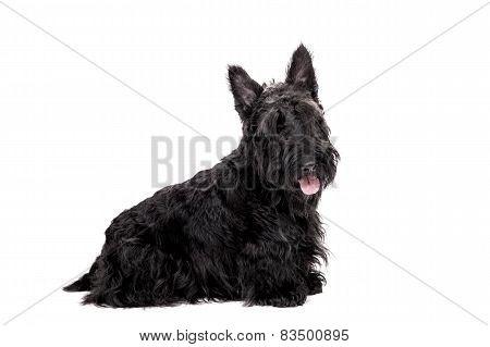 Black scottish terrier on white background