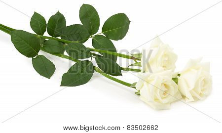 Wight Roses Isolated On The White Background