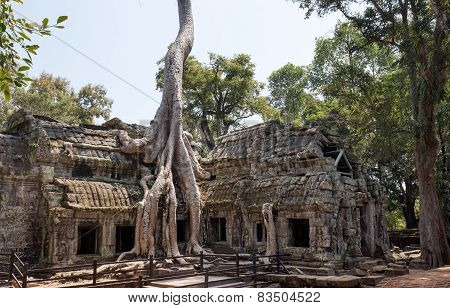 tree roots over khmer temple