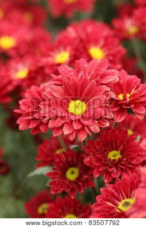 Beautiful Chrysanthemum Flower Blooming