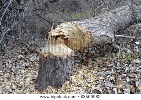 Tree Felled by Beaver