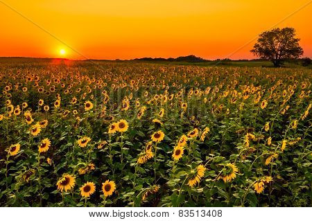 Midwest Sunflowers