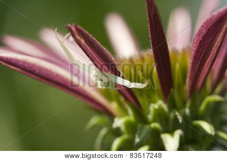 Tiny Green Crab Spider on Coneflower