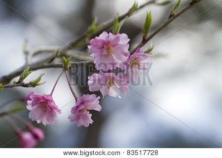 Pink Japanese Weeping Cherry Blossom Background