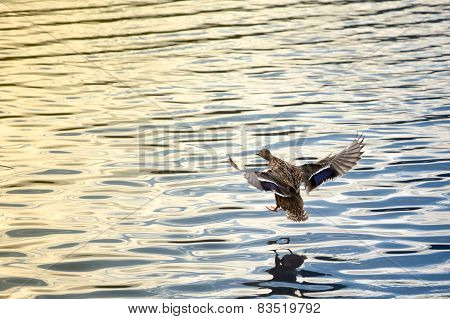 Female Duck Landing
