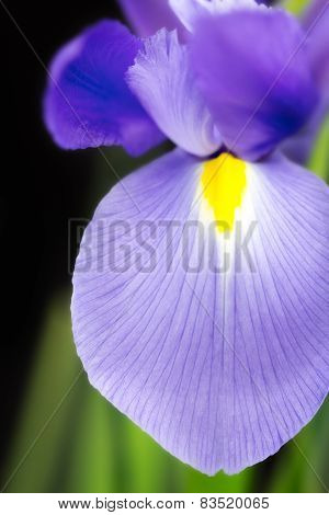 Japanese Beardless Blue Iris