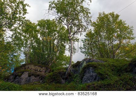 Trees Grow On The Rocks In The Tundra
