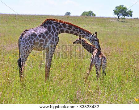 Female Giraffe with A Calf.