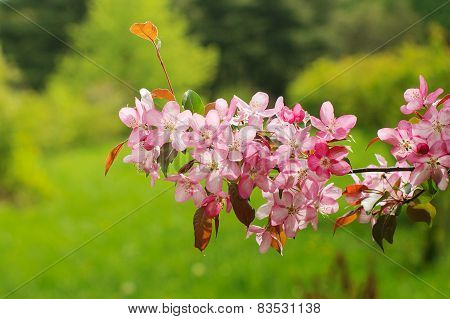 Spring Pink Flowers On Branches