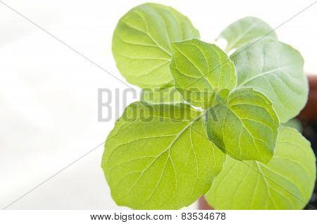 Mint herb