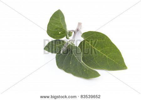 Datura inoxia branch