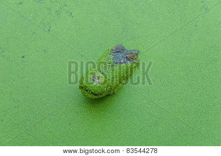 Crocodile In Wetland Pond Covered With Duckweed