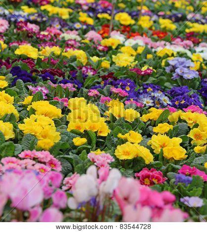Many Primroses In The Garden Of The Villa