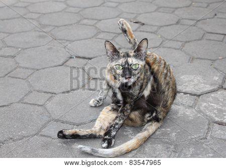 Cat Of The Original Painting