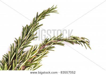 Spring Of Fresh Green Rosemary