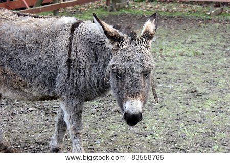 Brown-gray Donkey