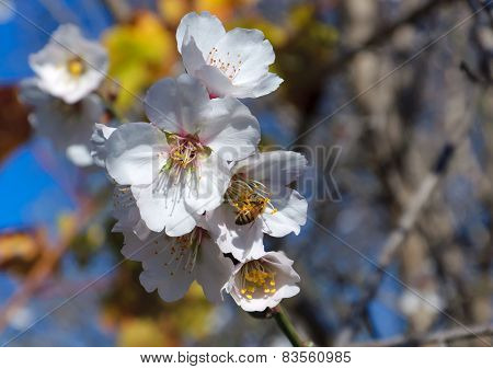 Bee and white almond flower