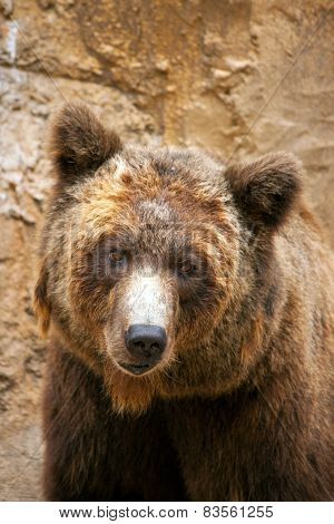 Brown Bear's Face Close Up