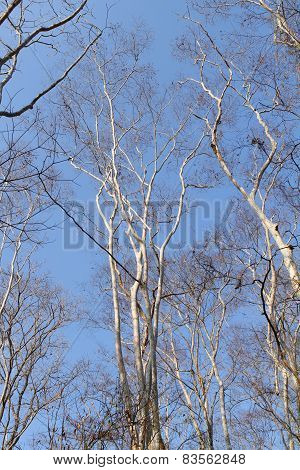 Leafless Trees In Tropical Forest